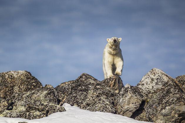 북극곰이 유람선 경비대원의 총에 맞아