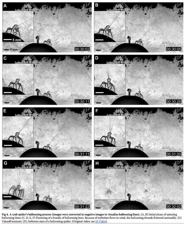 게거미의 이륙 과정: 풍속을 주의 깊게 살핀 뒤 수십 가닥의 비행실을 위로 뿜어 비행에