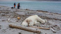 Indignation après l'abattage d'un ours polaire qui avait blessé un employé d'une croisière en
