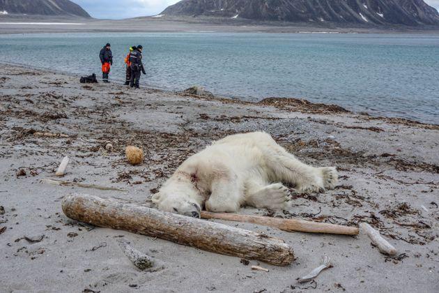 Un ours polaire a attaqué et blessé un employé de croisière qui accompagnait...