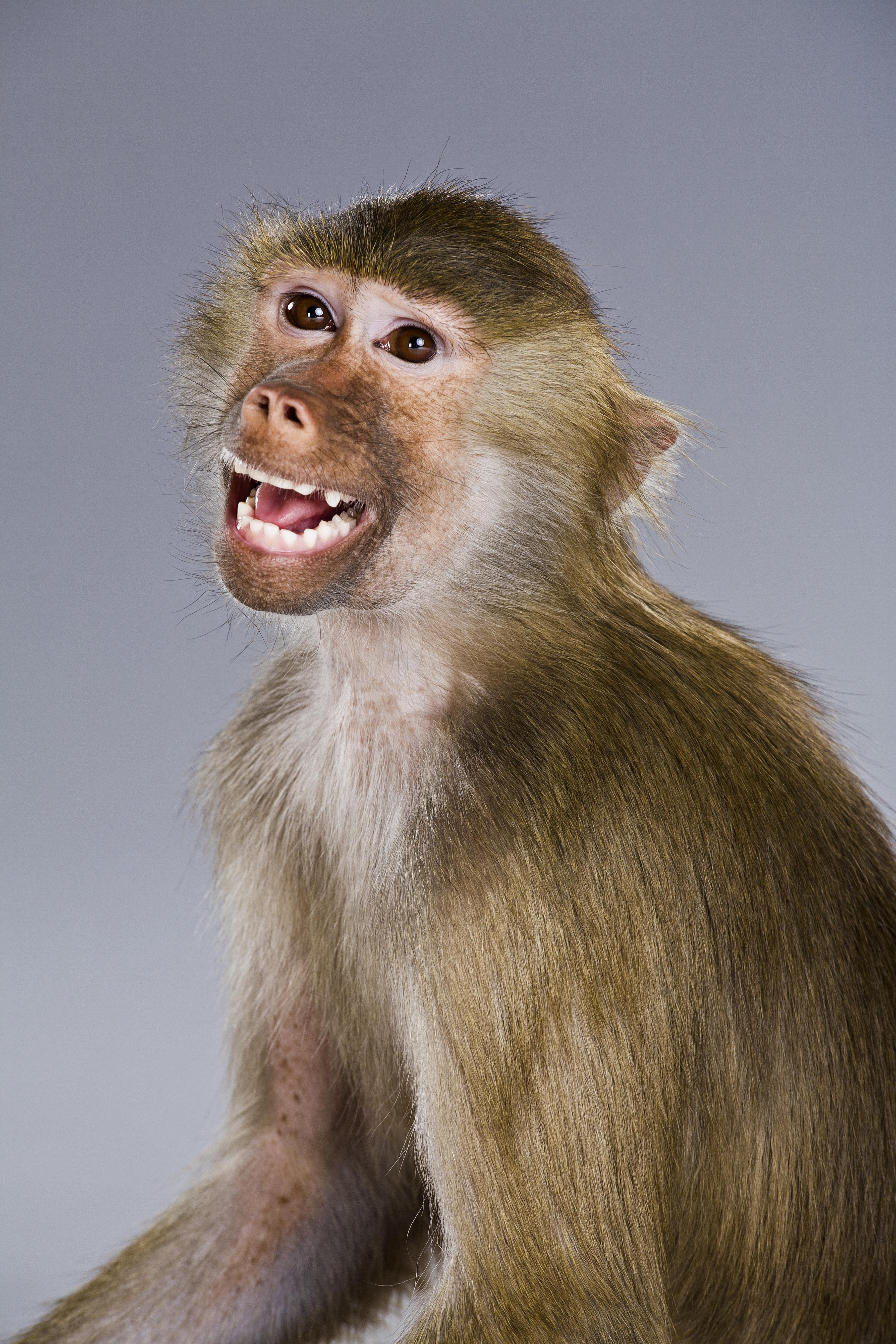 Baboon smiling, Papio Hamadryas