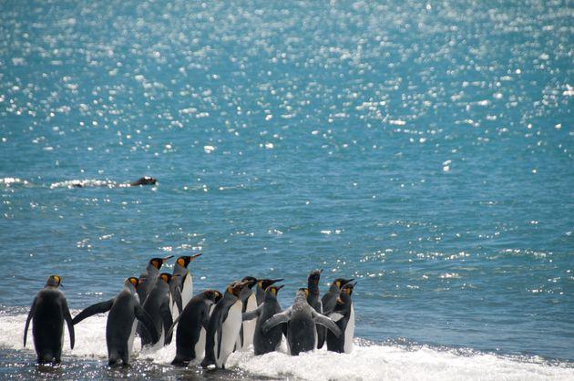 남극 킹펭귄이 멸종 위기를 눈앞에 두고
