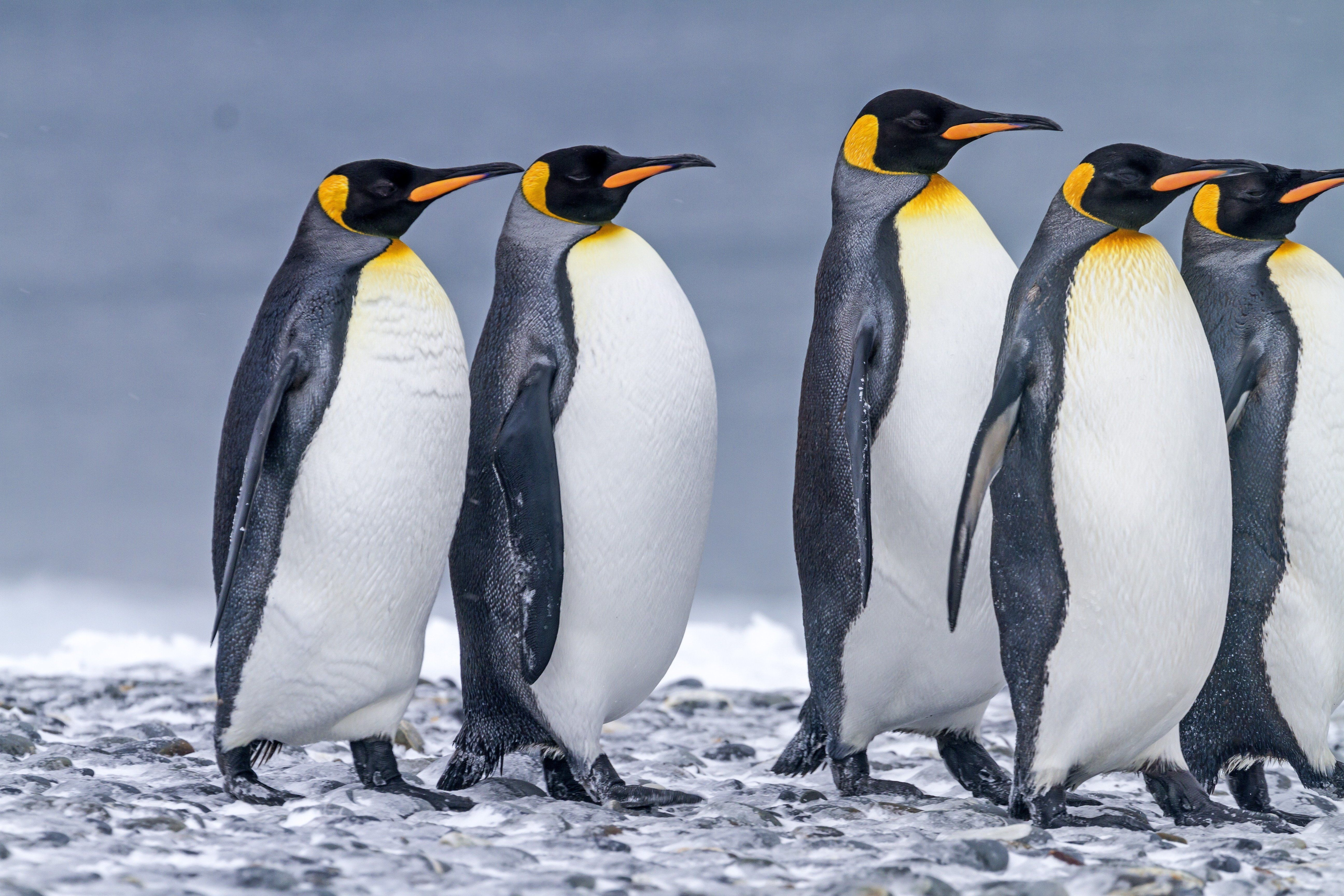 The population of the world's largest king penguin colony has shrunk by 90 percent since the 1980s, a new study&nb