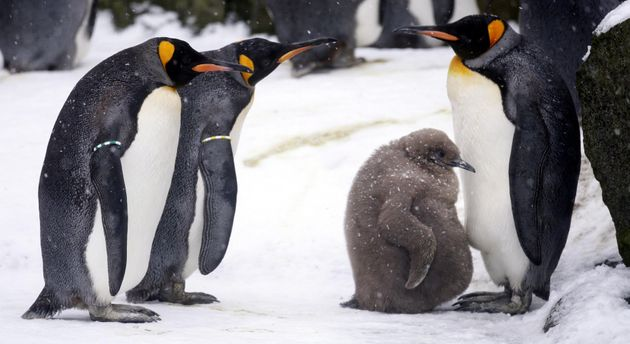 A baby king penguin surrounded by adult