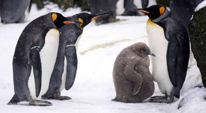 A baby king penguin surrounded by adult animals.