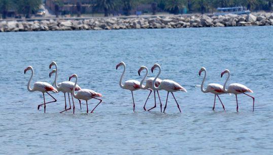 Εννέα φλαμίνγκο επισκέφτηκαν το Ναύπλιο και εξέπληξαν κατοίκους και