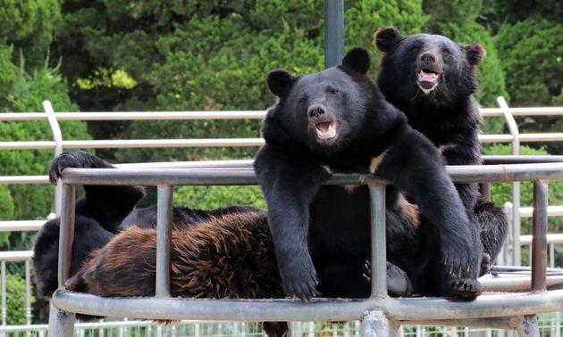 연일 폭염이 이어지면서 동물들도 힘겨운 여름을 보내고 있다. 사진은 7월 25일 세종시 전동면 베어트리파크에서 반달가슴곰들이 더위에 지친