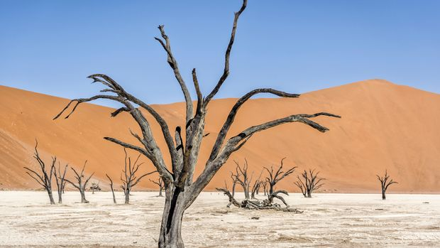 NAMIBIA - 2013/11/01: Old dead trees standing on a dry lake in front of red dunes of the Namibian desert. (Photo by Jorge Fernández/LightRocket via Getty Images)