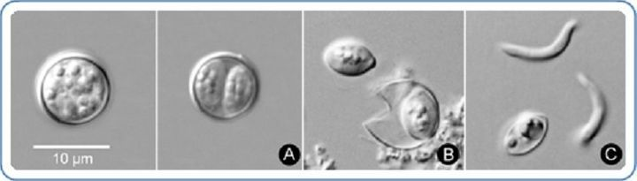 Cyclospora cayetanensis oocysts, which are shed by infected feces, are seen. The parasite becomes infective to others at the