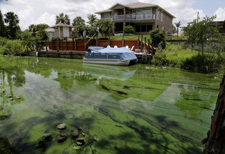 A deepening algae bloom seen at a canal behind houses on the south side of Calooshatchee River in the River Oaks on June 27.