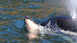 이 범고래는 태어나자마자 죽은 새끼를 9일째 데리고 다닌다