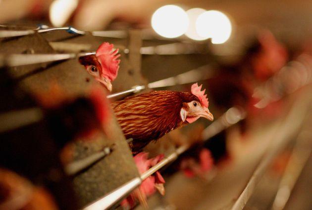 치킨민국과 불쌍한 닭들의