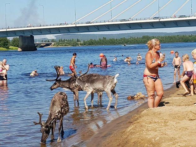 더위에 지친 핀란드의 순록들은 사람을 신경 쓸 겨를이