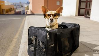 chihuahua  dog in transport bag or box ready to travel as pet in cabin in plane or airplane  , wearing sunglasses
