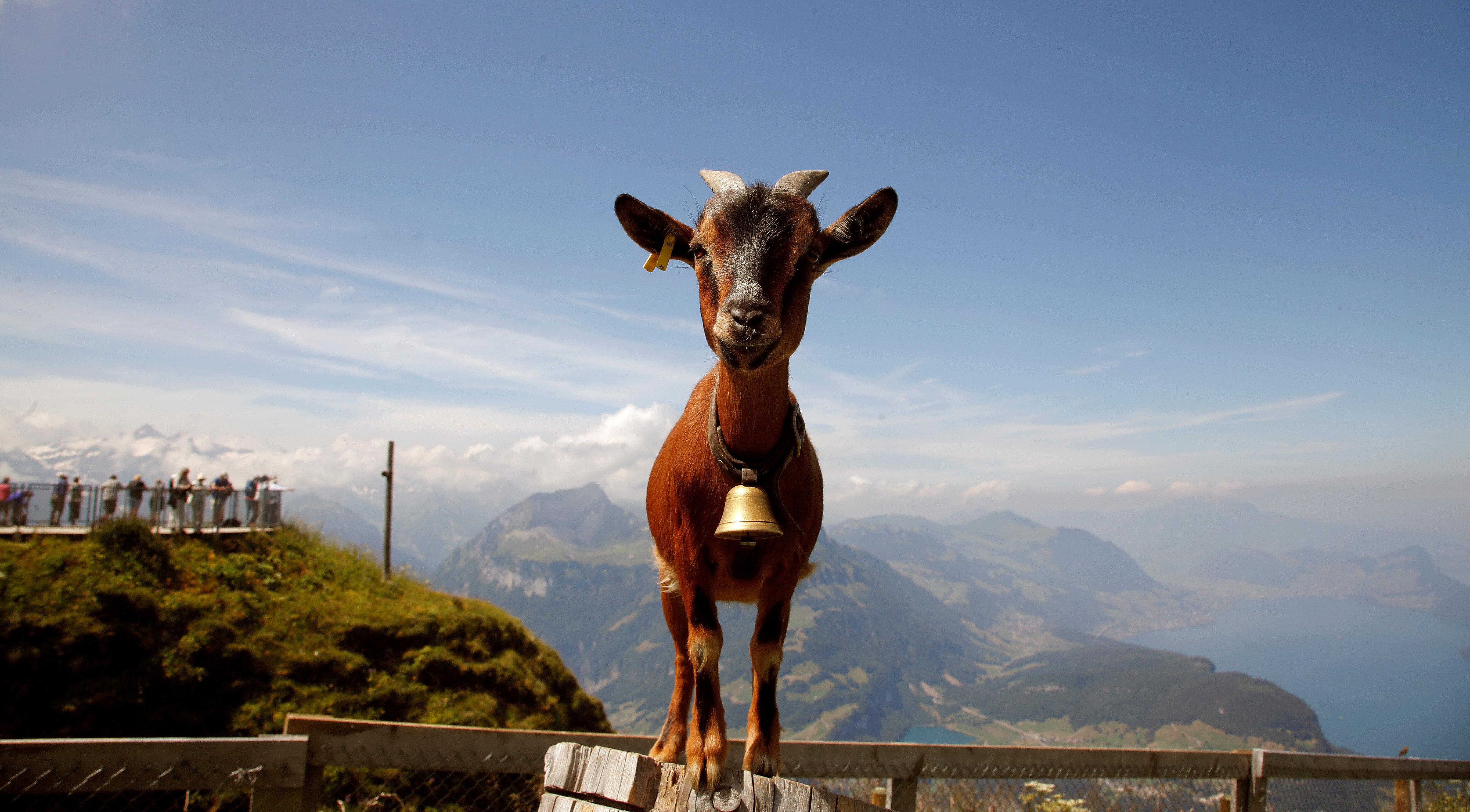 Who let the goats out? Κοπάδι από κατσίκες ξεχύθηκε στους δρόμους του Άινταχο τρελαίνοντας τα social