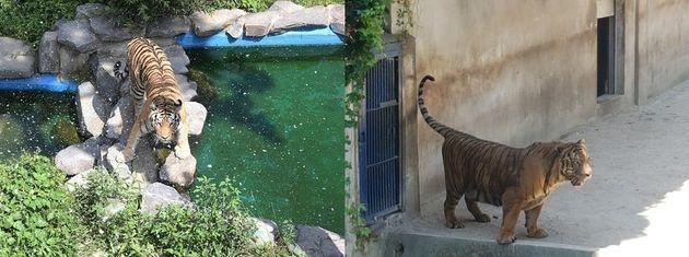 서울대공원 동물원 호랑이가 인공눈을 맞고 있는 모습(왼쪽)과 대구 달성공원 동물원 호랑이가 그늘에서 더위를 피하고 있는