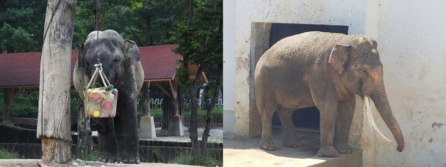 서울대공원 동물원 코끼리가 나무에 달린 얼음과일을 먹고 있는 모습(왼쪽)과 대구 달성공원 동물원 코끼리가 그늘에서 더위를 피하고 있는 모습이 매우
