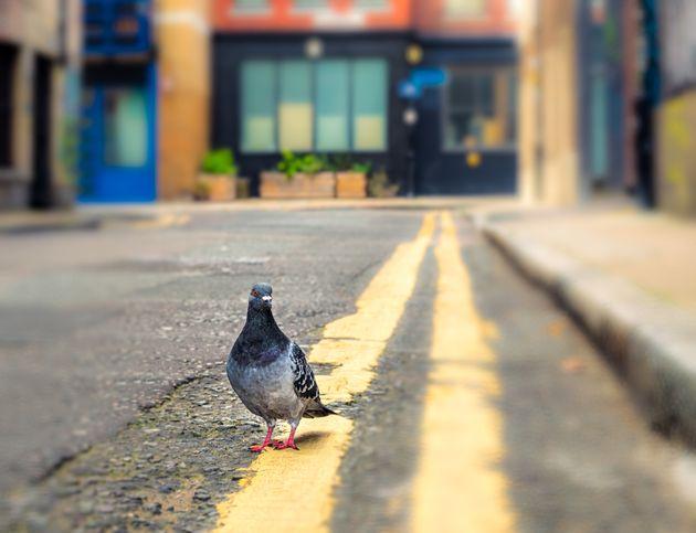 런던 거리에서 비둘기를 잡아먹는 뱀이 목격됐다(사진,