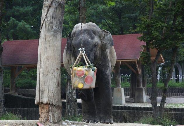 발정기와 더위의 스트레스를 이기지 못한 코끼리가