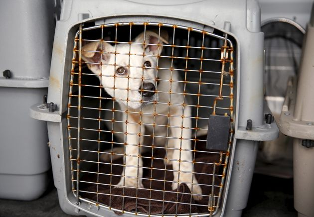 A dog rescued by Humane Society International (HSI) from a dog meat farm in South Korea in