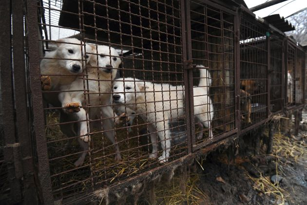 Dogs at a meat farm on the outskirts of Seoul in