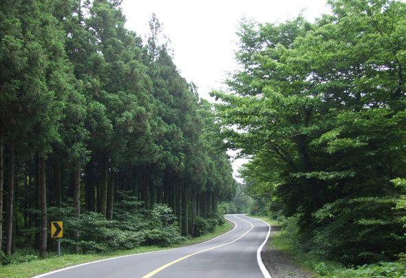 전국에서 가장 아름다운 도로인 제주 '비자림로'의 삼나무가