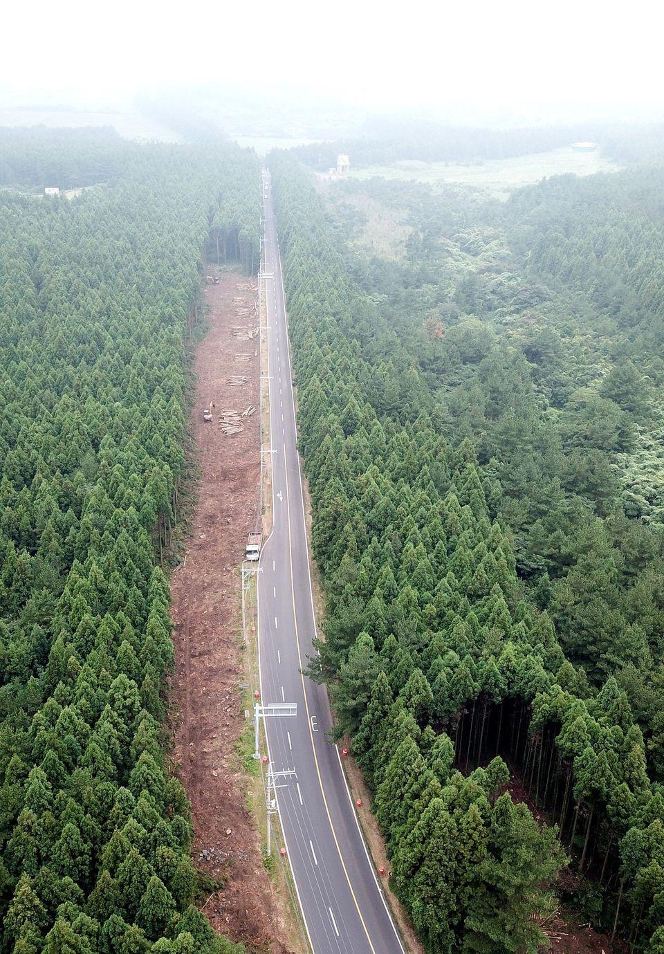 (화보)전국에서 가장 아름다운 '비자림로'의 삼나무들이 잘려나간