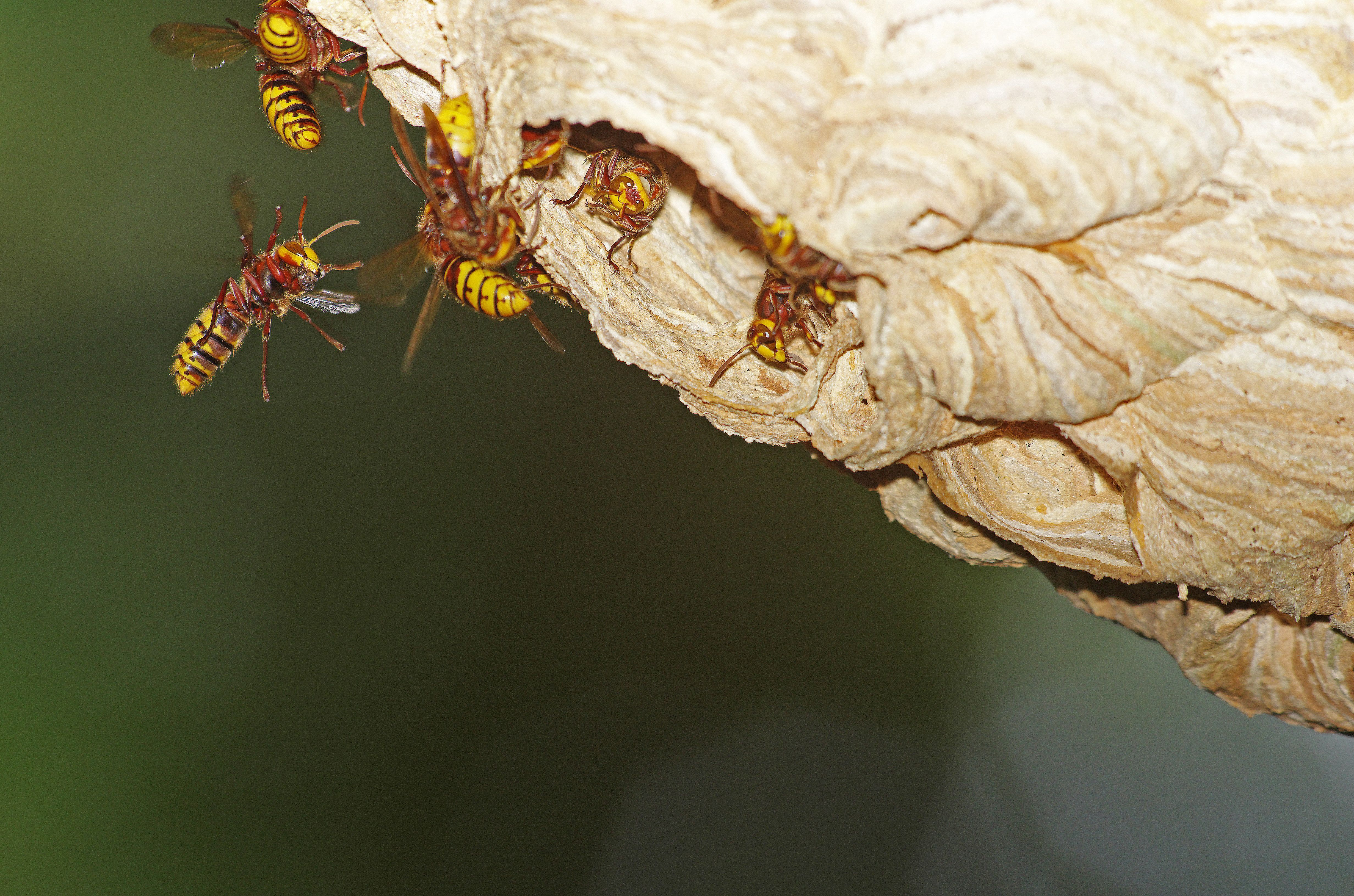 'Drunk And Irritable' Wasps Are Rampaging Through Britain, Experts Say
