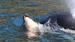 Φάλαινα δολοφόνος κολυμπά κουβαλώντας μαζί της επί 16 ημέρες το νεκρό μωρό της