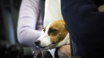 CHIBA, JAPAN - JANUARY 27 : A dog is seen on the lap of its owner in a plane in Chiba, Japan on January 27, 2017. Japan Airlines 'wan wan jet tour' allows owners and their dogs to travel together on a charter flight for a special three-day domestic tour to Kagoshima Prefecture, southwestern Japan. As part of the package tour, the owners and their dogs will also get to stay together in a hotel and go sightseeing in rented cars.  (Photo by Richard Atrero de Guzman/Anadolu Agency/Getty Images)