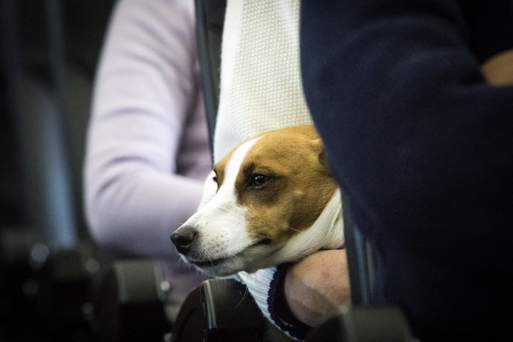 United Airlines said it saw a 77 percent increase in passengers traveling with emotional support animals last year.