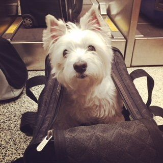 My dog Molly in her travel bag before boarding. Emotional support animals aren't required to stay in their traveling cases du
