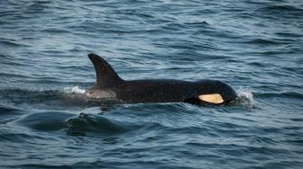 J50 juvenile orca