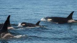 병든 어린 범고래를 구하려는 사상 유례가 없는 시도가