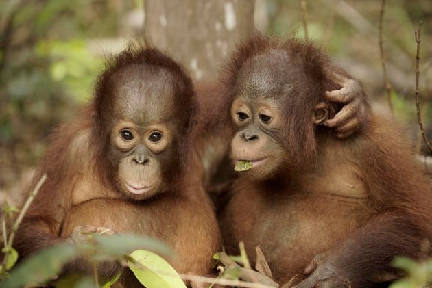 Giving Orangutans Back Their Freedom: A Story Of Hope