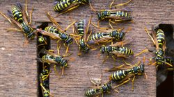 Wasp Swarms Could Worsen As Supplies Of Leading Nest Killer Run Low In UK Heatwave