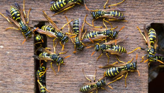 Wasp Swarms Could Worsen As Supplies Of Nest Killer Run Low In