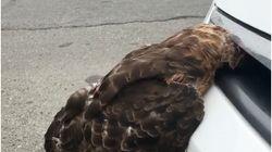 이 새가 자동차 그릴에 머리가 끼이게 된 기구한