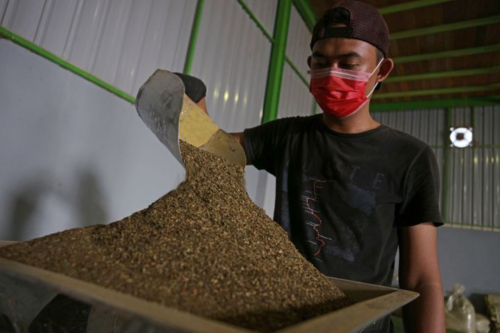 A worker pours finely ground kratom leaves into a machine to be processed into powder at a facility in Kapuas Hulu, West Kali