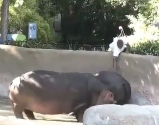 Police Looking For Man Seen Spanking Hippo's Butt At LA