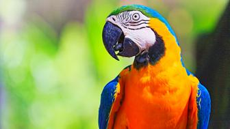 Idyllic Animal Birdwatch safari: Beautiful and curious Blue and Yellow Parrot macaw tropical bird on nature background – Pantanal wetlands and amazon rainforest, Brazil