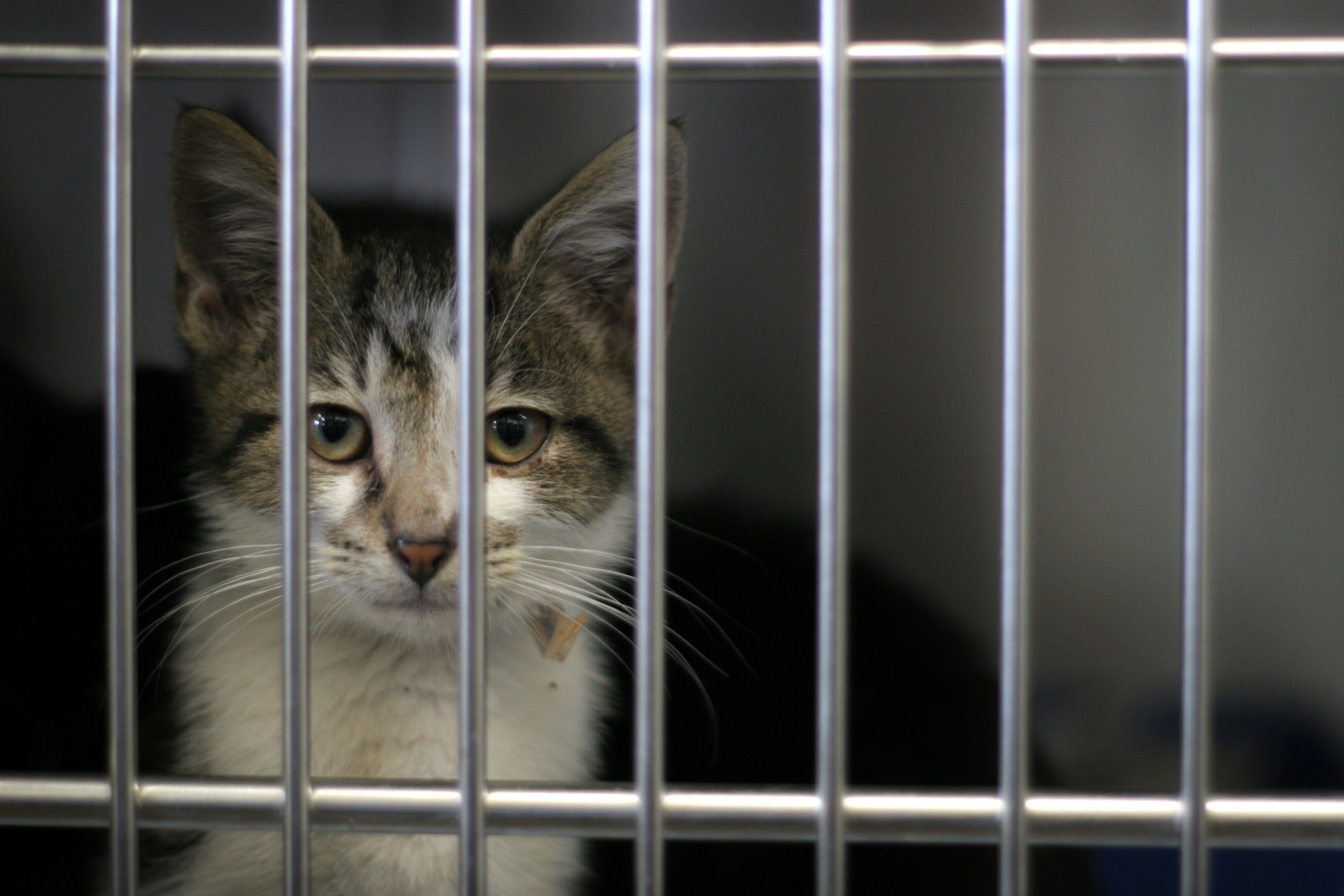 lonely cat awaits adoption from the dog pound