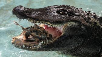 An alligator named Muja eats a quail in its enclosure in Belgrade's Zoo, Serbia, August 14, 2018. Muja is officially the oldest American alligator in the world living in captivity. He was brought to Belgrade from Germany in 1937, a year after the opening of the Zoo. Muja survived three bombings of Belgrade, the Second World War and all hardships the Zoo went through. REUTERS/Marko Djurica