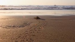 A Sea Turtle Comeback, 30 Years In The