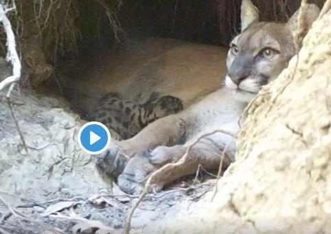 Sonoma mountain lion mom