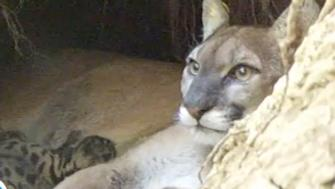 Sonoma mountain lion mom