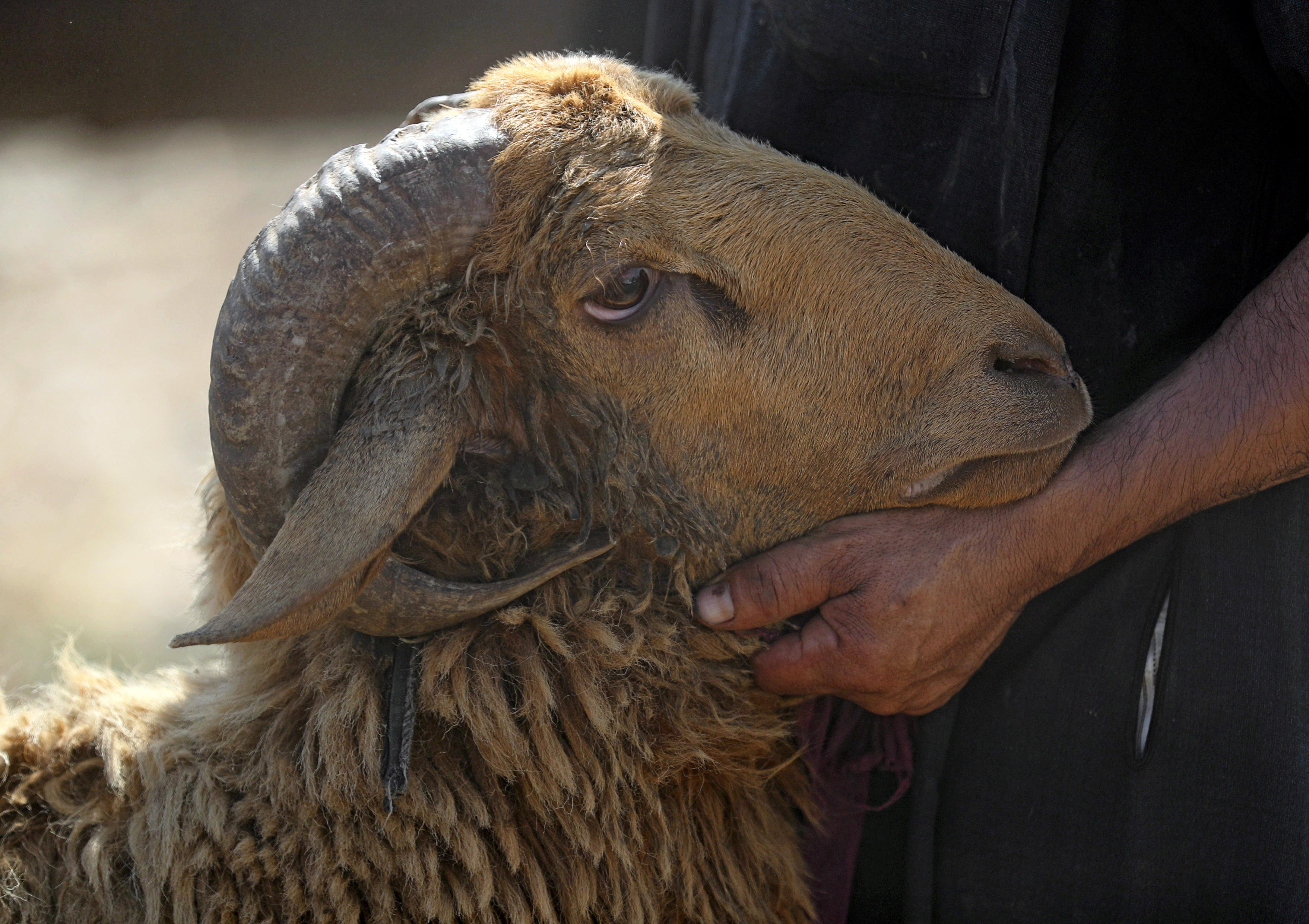 Le mouton dans la