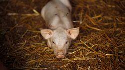 Περισσότερα τα γουρούνια από τους ανθρώπους στην