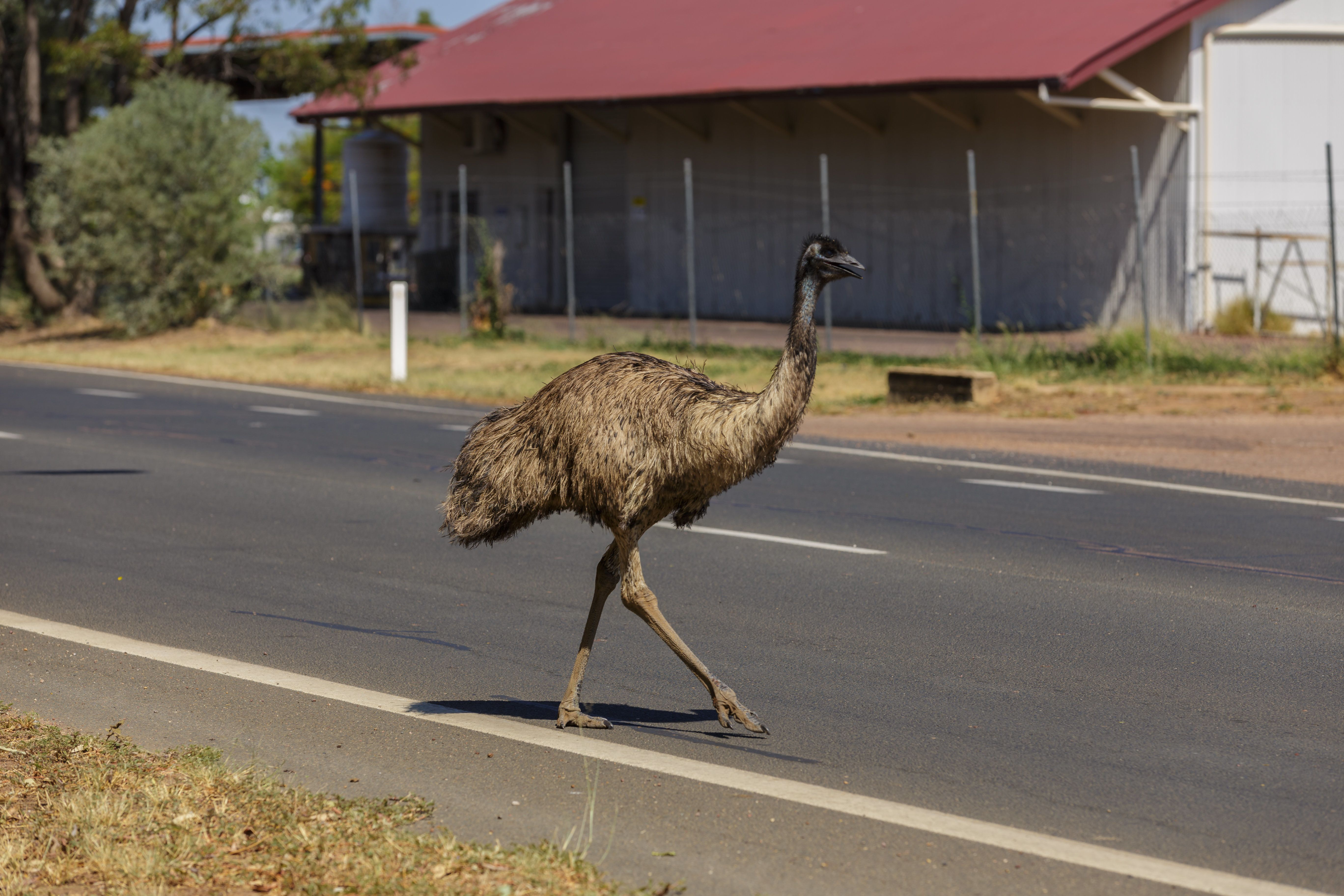 EMUSING: Thirsty Emus Have 'Mobbed' This Australian Town Following
