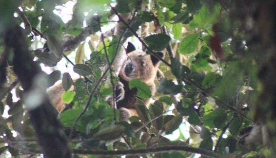 Kangaroo Believed Extinct For 90 Years Caught On Camera By British
